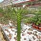 Euphorbia loricata