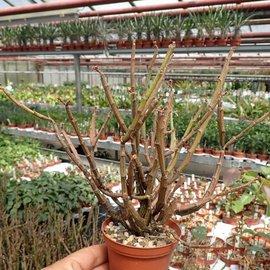 Euphorbia platyclada v. erecta  Rauh 72/70, Madagaskar