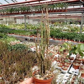 Euphorbia platyclada   Fort Dauphin, Madagaskar, sandiger Boden