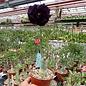 Adenium obesum cv. Black Pearl CC 35  gepfr.