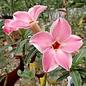 Adenium obesum cv. Pink Harlekin CB-LAI-2  gepfr.