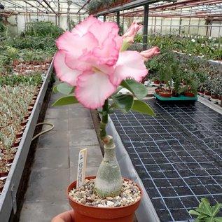 Adenium obesum cv. Pink Pearl   gepfr.