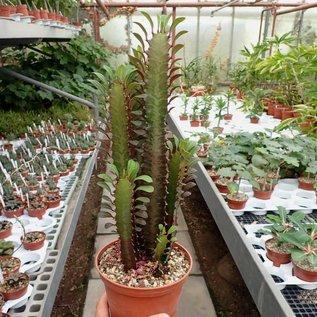 Euphorbia trigona cv. rubra