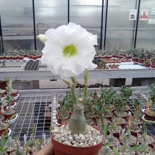 Adenium obesum Snow King   gepfr.
