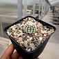 Echinocereus reichenbachii v. albispinus      (dw)
