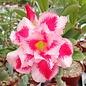 Adenium obesum cv. New Rainbow   gepfr.