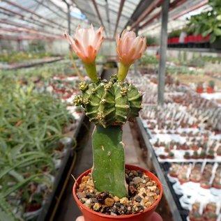 Gymnocalycium mihanovichii cv. Green Cap    gepfr.