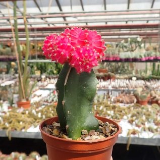 Gymnocalycium mihanovichii cv. Pink Cap   gepfr.