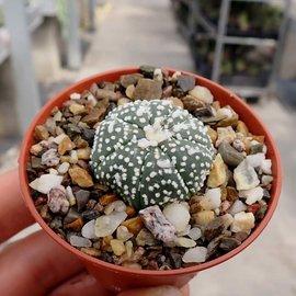 Astrophytum asterias cv. Hanazono 1b