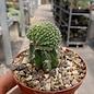 Aztekium ritteri    gepfr. cristata CITES, not outside EU