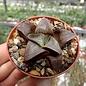 Haworthia cv. correcta Big Bayeri