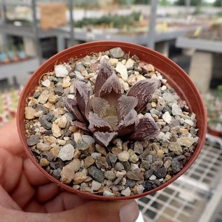 Haworthia cv. Dickson White Rudey