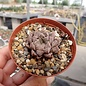 Haworthia cv. Mirror Ball