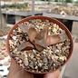 Haworthia cv. Ruby Star