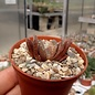 Haworthia cv. Rasper