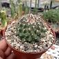 Mammillaria supraflumen  ML 295 Ferreria, Jalisco, Mexico.1550m
