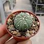 Astrophytum asterias Seeigelkaktus     CITES, not outside EU