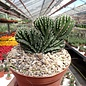Marginatocereus marginatus     cristata