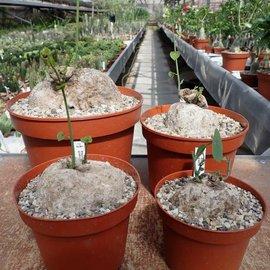 Stephania glabra XL