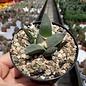 Ariocarpus trigonus v. confusus  Aramberri   CITES, not outside EU