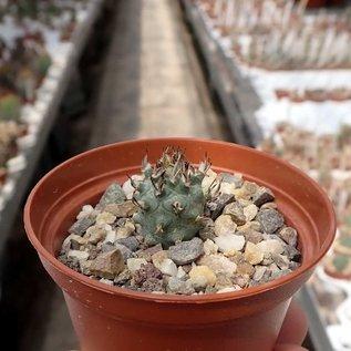 Turbinicarpus flaviflorus f. brevispinus     CITES, not outside EU