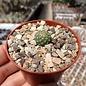 Strombocactus corregidorae      CITES, not outside EU