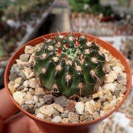 Notocactus submammulosus cv. rubriflorus