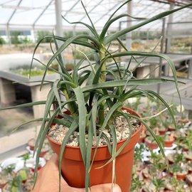 Aloe ciliaris cv. Aureiflora