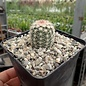 Echinocereus pectinatus v. wenigeri ctenoides      (dw)