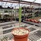 Euphorbia stenoclada-Hybr.