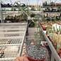 Euphorbia neobosseri   Sakaraha