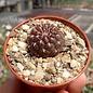 Sulcorebutia purpurea v. horacekii D 04 Laguna Molinero