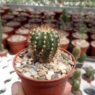 Uebelmannia pectinifera v. pseudopectinifera RNK 039 Trinta Réis, Minas Gerais, Brasilien, 1220 m    CITES, not outside EU