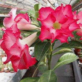 Adenium obesum cv. Double Sweetheart   gepfr.