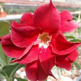 Adenium obesum cv. Exhibition Double Red   gepfr.