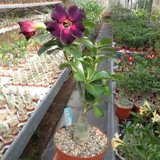 Adenium obesum cv. Simple Red Black CC 015  gepfr.