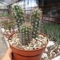 Echinocereus sanpedroensis