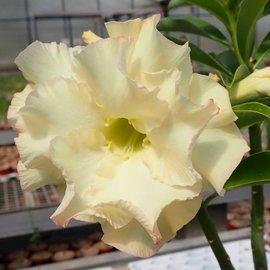 Adenium obesum cv. Lemon Ice    gepfr.