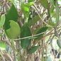 Hoya australis rupicola