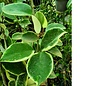 Hoya carnosa cv. Snowball margin variegata