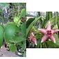 Hoya coronaria cv. Pink big flower