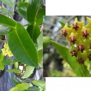 Hoya densifolia