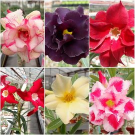 Offer of the month adenium grafted