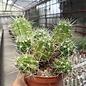 Echinocereus maritimus   San Carlos Can., BC