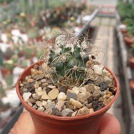 Turbinicarpus pseudomacrochele v. sphacellatus     CITES, not outside EU