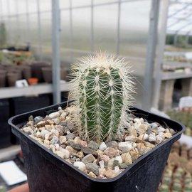 Echinocereus reichenbachii ssp. baileyi albispina  (syn. baileyi v. albispinus)    (dw)