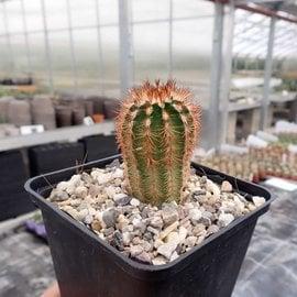 Echinocereus reichenbachii  SB 387 Kimble Co., Texas, USA    (dw)