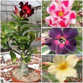 Offrir des plantes plus grosses greffées à l'adénium