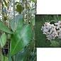 Hoya elliptica   Philippines