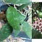 Hoya flagellata III  aff.